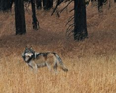 The recovery of gray wolves in Yellowstone National Park has been one of the greatest achievements in wildlife conservation in the U. But now, even research-collared Yellowstone wolves that wander outside the park's invisible borders are being killed. Yellowstone Wolves, Yellowstone Camping, Yellowstone National Park, National Parks, Survival Life, Camping Survival, Survival Bow, Rv Camping, Survival Skills
