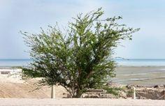 Babool Tree - Acacia arabica Health benefits - http://easyayurveda.com/2016/05/20/babool-tree-acacia-nilotica-acacia-arabica/