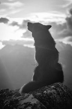 Siluette wolf