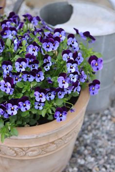 violas...one of my favorites.  small flower with big impact