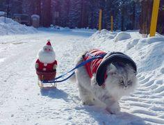 Gandalf the adventurous Siberian Cat Santa sleigh                                                                                                                                                                                 More