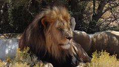 Lion, Safari, Inverdoorn