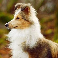 Shetland Sheepdog - Smartest Dog Breeds