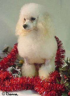Lots of photos and information about Poodles; toy and miniature Poodle puppies for sale Mini Poodles, Toy Poodles, Standard Poodles, White Toy Poodle, Diy Dog Crate, Tea Cup Poodle, Christmas Dog, Dog Walking, Dog Breeds