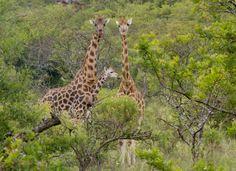 Rare Rothschild Giraffes in Kenya