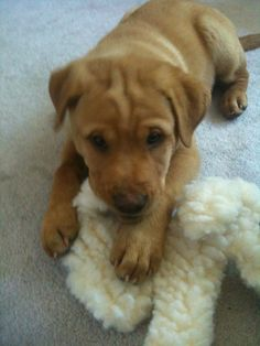 Colby's 1st day with us at 10 weeks old!  He's a Shar pei - Lab Mix!