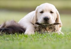 You're Lucky You're Just a Kid... golden lab puppy and cat