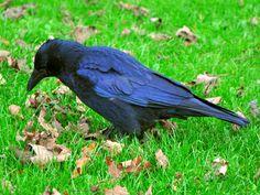 A Crow taken at Duthie Park in Aberdeen, Scotland. October 2011
