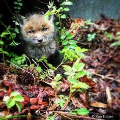 Meet our summer crush. This year, three baby fox pups were born in the forests of the Smithsonian Environmental Research Center.  Red foxes are the world's most widely distributed wild carnivores, with populations on four continents. Babies typically begin leaving their dens at four or five weeks old.  Photo by our marine invasions biologist Kim Holzer, @holzerimages. Stay tuned for more nature photos as @SmithsonianEnvironment continues the #SERCIGTakeover! #WildlifeWednesday #fox #animal…