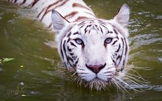 Amazing White Tiger pictures