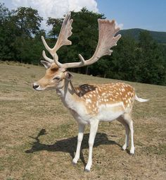 This is a male stag Fallow Deer. These antlers are quite different from the common horns of deer. The Caribou have somewhat the same design, but much bigger. But no relation to them. Animals Beautiful, Cute Animals, Majestic Animals, Wild Animals, Animals With Horns, Big Deer, Fallow Deer, Deer Family, Mule Deer