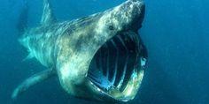 Ganz brav: Riesenhaie sind Planktonfresser. © naturepl.com / Alan James / WWF