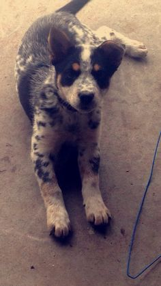 Elsa the Blue Heeler - Border Collie Mix. Bor'lu