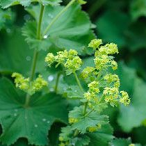"Alchemilla mollis/Lady's Mantle.  One of the best low-growing perrenials for front borders and drought tolerant. In medieval times, considered a woman's protector and is a sign of purity and wards off ""lurking forces"". hmmmm"