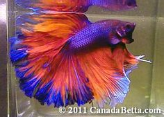 Rainbow Betta Fish | Canada Betta where you can get the best Betta