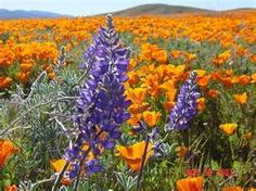 Beautiful California with colorful wildflowers, lupines (Bluebonnets ...
