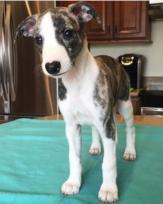 brindle whippet pup