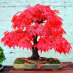 Bonsai is a Japanese art form using miniature trees grown in containers. Bonsai is plantings in tray or low-sided pot. Bonsai trees are awesome and most beautiful trees. Bonsai Maple Tree, Japanese Maple Bonsai, Maple Tree Seeds, Japanese Red Maple, Red Maple Tree, Maple Leaves, Japanese Tree, Ikebana, Plantas Bonsai