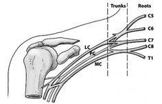 The basic anatomical relationships of the brachial