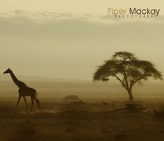 Thank you Piper for sharing! Giraffe in Maasai Mara.