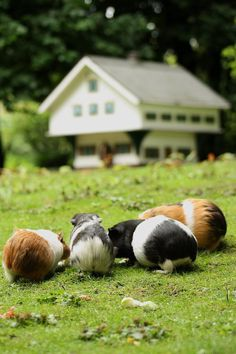 Guinea pig heaven!