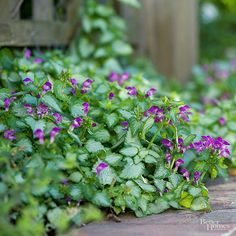 Prized for both its colorful foliage and flowers, lamium makes a superb rock garden plant especially in shady locations. This handsome creeper comes in a variety of foliage colors including silver, chartreuse, green, and bicolor.