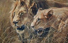 """The Royal Couple - male and female lion - Size 23"""" x 32"""" Acrylic painting £POA Original Lion Paintings For Sale - Alan M Hunt Wildlife Paintings, Wildlife Art, Animal Paintings, African Big Cats, African Animals, Big Cats Art, Cat Art, Elephas Maximus, Female Lion"""