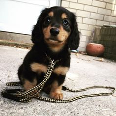 """Everyone bark """"hello!"""" to Moose, a Long Haired Miniature Dachshund puppy, one of Petplan's newest family members! Isn't he the cutest thing you've ever seen?! :) #petplan"""