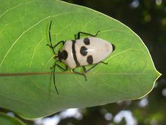 麗盾蝽 Chrysocoris grandis - 半翅目 Hemiptera - HKWildlife.Net Forum 香港自然生態論壇