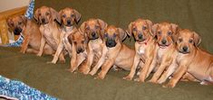 Rhodesian Ridgeback Puppies - they're so cute and they make the best dogs. I miss my Scooby and Scrappy doo : ( Lion Dog, Dog Cat, Rhodesian Ridgeback Puppies, Pet Corner, Most Beautiful Dogs, Puppies And Kitties, Doggies, Cutest Thing Ever, New Puppy