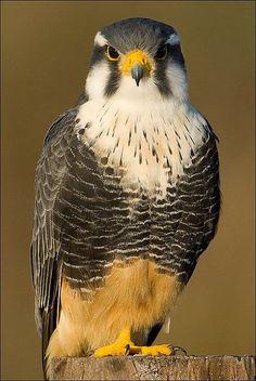falcão-de-coleira (Falco femoralis)