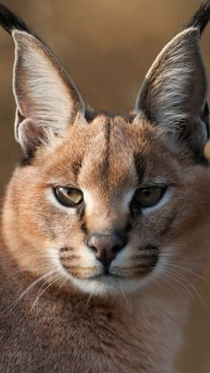 lynx, muzzle, predator, big cat, eyes, blurring