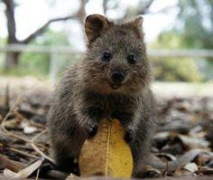 """O Grito do Bicho"": Quokka, marsupial australiano 'rei das selfies', e..."