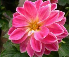 una bella Dalia - concurso flor de la semana - www.quedeflores.com - envío de ramos de rosas a toda la península