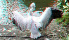 https://flic.kr/p/SH4fP9 | Dalmatian Pelican Blijdorp Zoo Rotterdam 3D | anaglyph stereo red/cyan