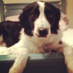 My dogs a prince  #bordercollie  #dog  #prince  #layingdown  #cute  #border #collie #pic