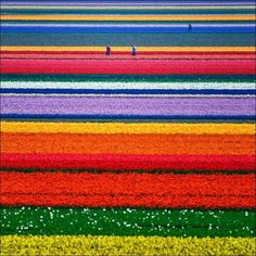 Tulip fields in Holland! I want to go!