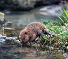 Baby beaver is thirsty