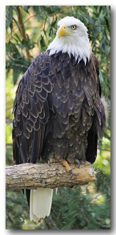 American Bald Eagle...always glorious even when just sitting