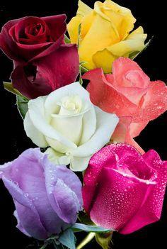 Roses and Love - קהילה - Google+