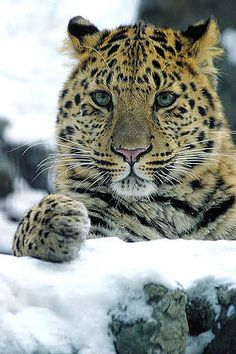 Amur leopard, only 35 left in the world - so handsome...I love BIG cats!