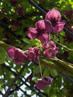 Akebia quinata, klimplant met mooi ruikende bloemen