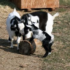 Little Jim the goat against Thelma and Louise the goats