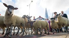 """Today is the day of the annual """"Sheep Drive"""" over London Bridge, with Freemen of the City of London ceremonially exercising their historical right, dating back to the Middle Ages, to drive sheep…cont. London Bridge, London City, Future Of Science, Hello London, Barbara Windsor, Bridge Workout, British Traditions, London Landmarks, Over The Bridge"""
