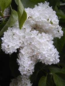 White Lilacs....Love the look....the smell drives my allergies nuts!