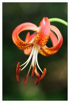 Sandhills Bog Lily by David Blevins  Weymouth Woods Sandhills Nature Preserve, NC