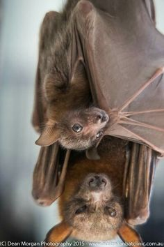 Little Red Flying Fox bat Nature Animals, Animals And Pets, Baby Animals, Cute Animals, Beautiful Creatures, Animals Beautiful, Vida Animal, Bat Species, Bat Flying