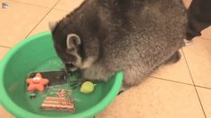 Will This Be The GIF List That Makes Raccoons The Internet's New Most Lovable Animal?!?