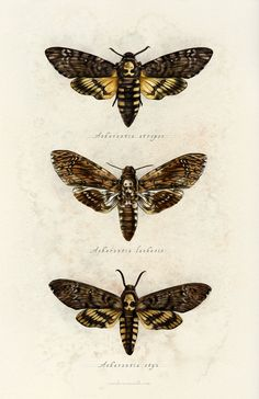 sarah-oconnell: Spent some time today revisiting this series of moths from All three of them are in one happy print now. Tattoo Papillon, Art Papillon, Perro Papillon, Botanical Illustration, Illustration Art, Butterfly Illustration, Moth Drawing, Skull Moth, Deaths Head Moth