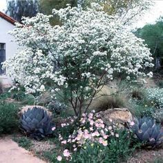 Anacacho Orchid tree - Bauhinia lunariodes Small tree height and spread. Perfect for hot,dry conditions in full sun or partial shade. White/pink clustered flowers in spring-summer. Texas Landscaping, Landscaping Plants, Front Yard Landscaping, Landscaping Ideas, Front Yard Flowers, Trees For Front Yard, Orchid Tree, Tree Seeds, White Orchids